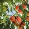 Miért érdemes elfogyasztás előtt megmosni a gyümölcsöt?